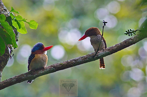 Banded Kingfisher.       (Lacedo pulchella)