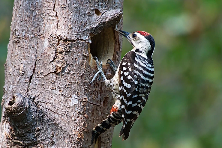 Freckle-Breasted Woodpecker at Bang Pu
