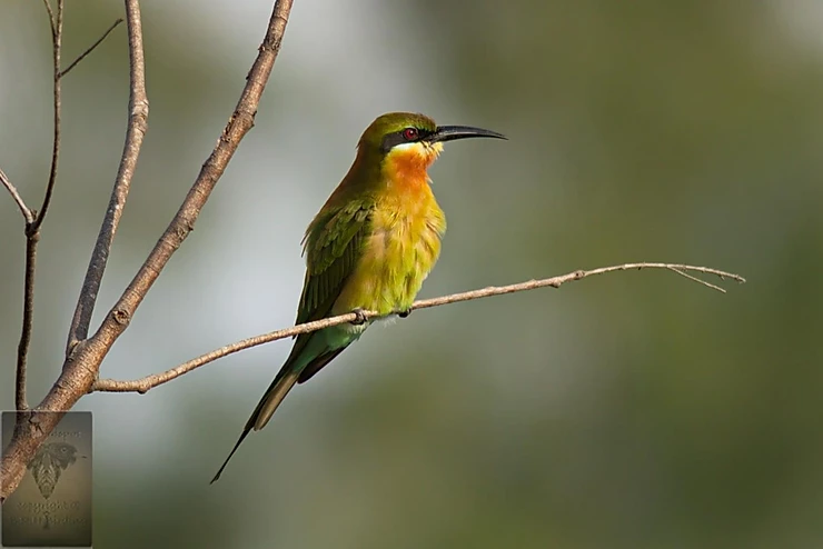 Blue-tailed Bee-eater at Puttamonton Park