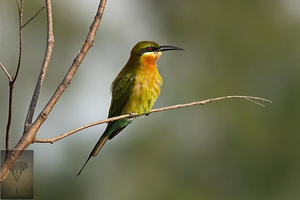 Blue-tailed Bee-eater at Puttamonton Park
