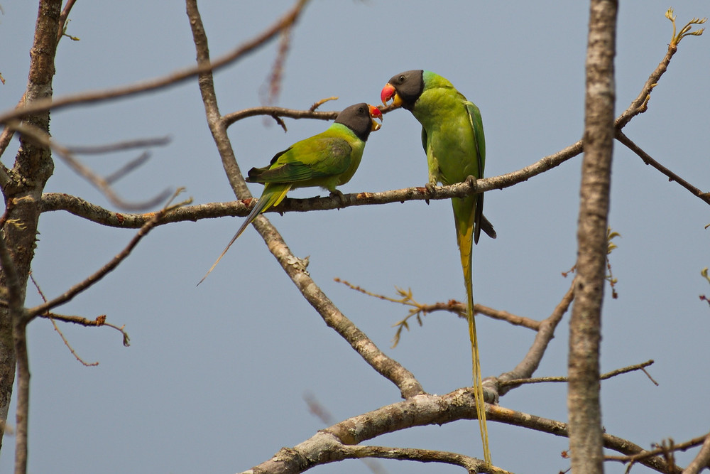 Grey-Headed Parakeet at Mae Ping NP