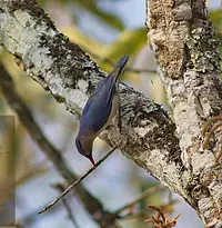Nam Nao NP-Velvet-Fronted Nuthatch.