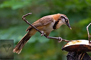 Lesser-Necklaced Laughingthrush at Keang Krachan NP