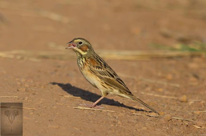 Chestnut-eared Bunting at Pak Phli