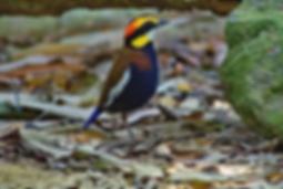 Sri Phang Nga National Park-Malayan Banded Pitta.