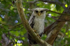 Spot-Bellied Eagle Owl at Kaeng Krachan