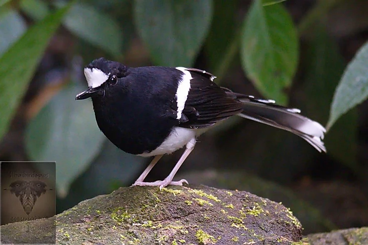 White-Crowned Forktail at Mae Wong NP