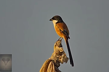 Long-Tailed Shrike at Pak Phli