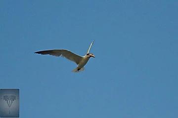 Caspian Tern at Pak Thale