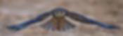 Amur Falcon.webp