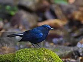 Mae Wong NP-White-Tailed Blue Robin.
