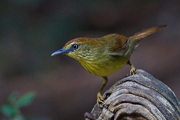 Pin-striped Tit-Babbler at Kaeng Krachan