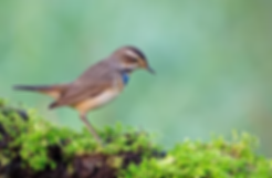 Bluethroat 3.webp