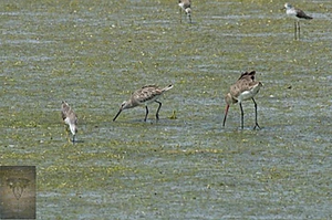 Asian Dowitcher at Pak Thale