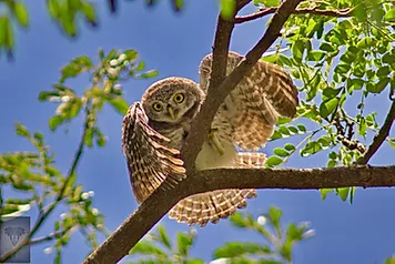 Hat Wanakon National Park-Spotted Owlet.