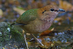 Rusty-naped Pitta at Mae Wong