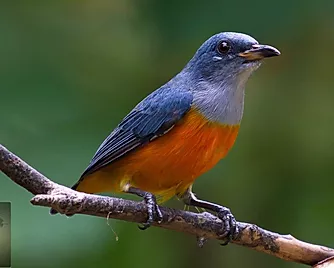 Khao Sok National Park-Orange-Bellied Flowerpecker.