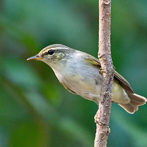 Leaf Warblers , Bush Warblers