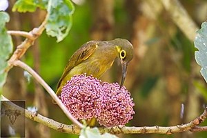 Spectacled Spiderhunter at Krung Ching