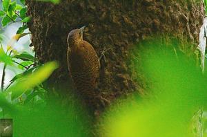 Rufous Woodpecker, (Micropternus brachyurus)