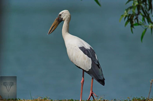 Asian Openbill at Puttamonton Park