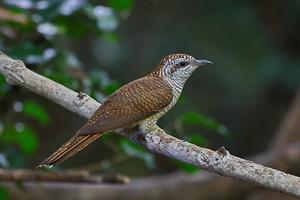Bay-banded Cuckoo at Kaeng Krachan NP