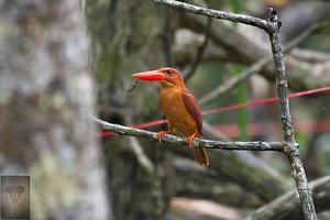 Ruddy Kingfisher at Ao Phang Nga