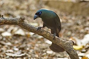 Racket-tailed Treepie at Kaeng Krachan