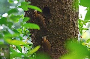 Rufous Woodpecker at Kaeng Krachan