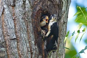 Black-Thighed Falconet at Kaeng Krachan