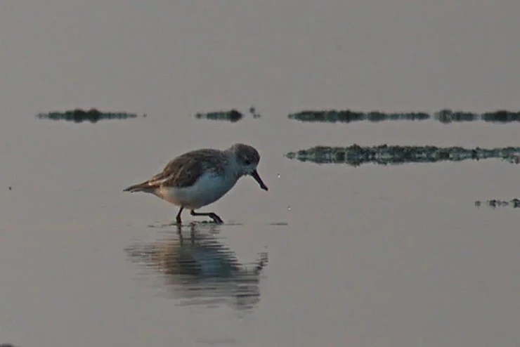 Spoon Billed Sandpiper at Pak Thale