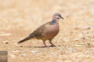 Spotted Dove at Lat Krabang