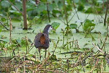 White-fronted Waterhen