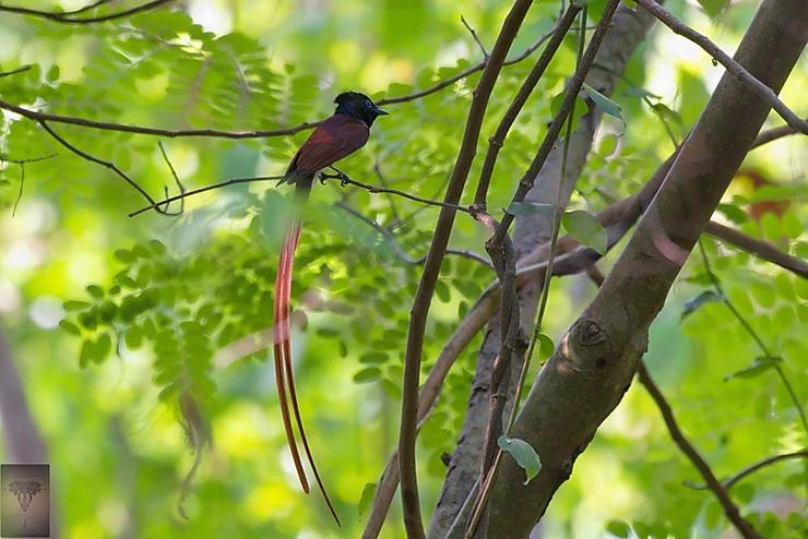 Amur Paradise Flycatcher at Koh Man Nai