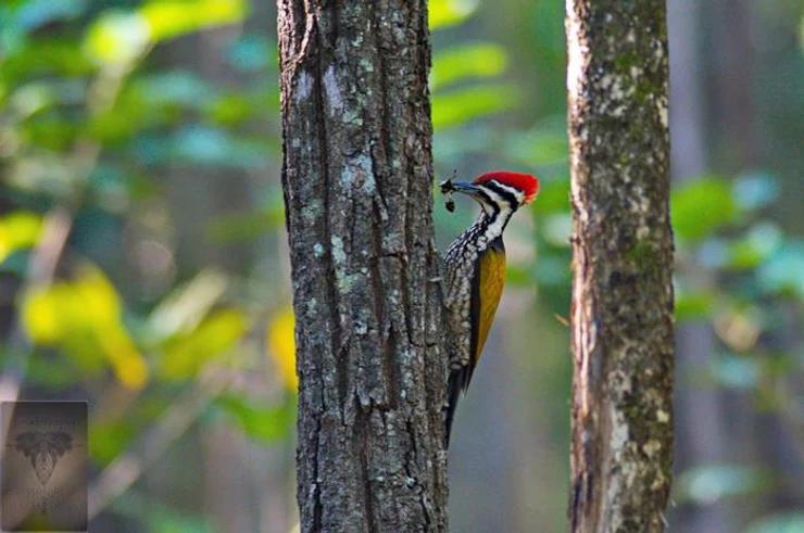 Common Flameback Woodpecker at Huai Kha Khang