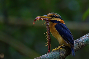 Rufous-Collared Kingfisher at Krung Ching