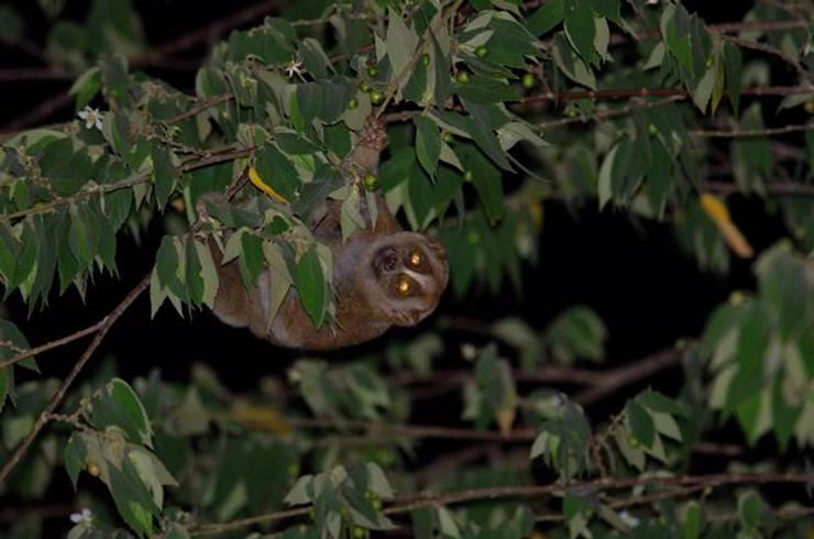 Slow Loris at Kaeng Krachan