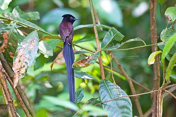 Japanese Paradise Flycatcher at Koh Man Nai