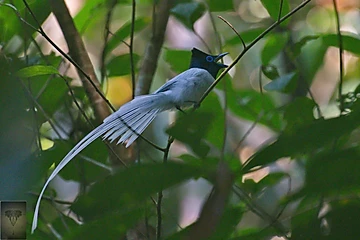 Blyth's Paradise Flycatcher at Krung Ching