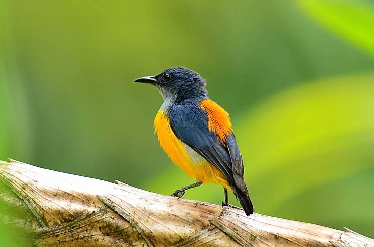 Orange-bellied Flowerpecker at Kaeng Krachan