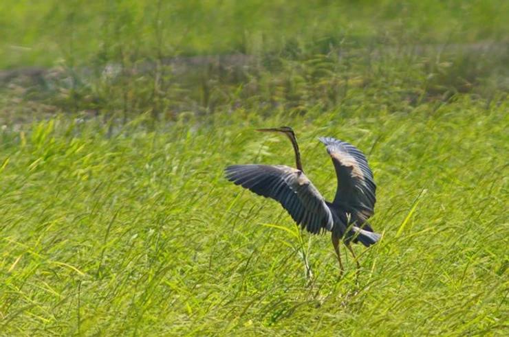Purple Heron at Pak Phli