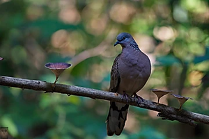 Spotted Dove at Phu Toei NP