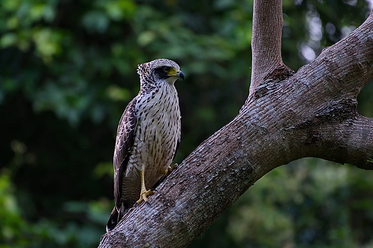 Crested Serpent Eagle at Kaeng Krachan