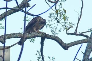 Mountain Hawk Eagle at Kaeng Krachan