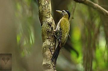 Streak-breasted Woodpecker at Kaeng Krachan