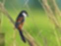 Pak Phli-Long-Tailed Shrike.