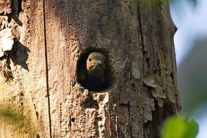 Buff-rumped Woodpecker at Kaeng Krachan