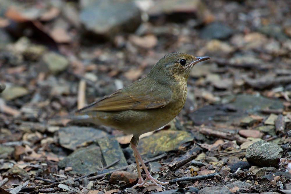 Siberian-blue Robin at Phu Toei