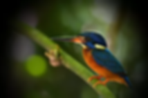 Blue-Eared Kingfisher.webp