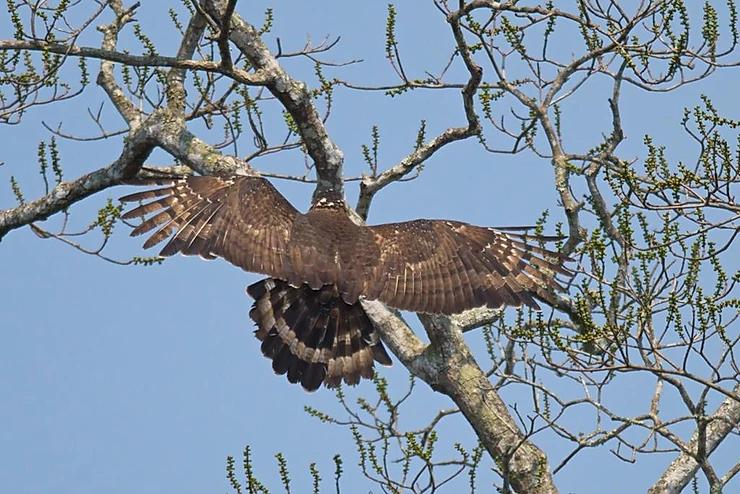 Crested Serpent Eagle at Kaeng Krachan NP